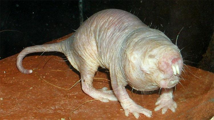 Chuột chũi không lông