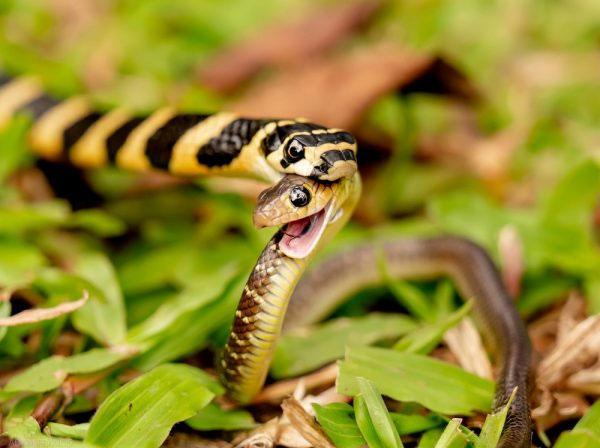 Sau một bữa ăn lớn, con rắn sống trong nhiều tháng mà không cần ăn vì tốc độ trao đổi chất chậm.