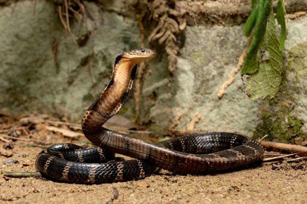 Rắn hổ mang chúa được coi là một con rắn hung dữ.