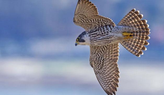 Chim cắt lớn là vật nuôi yêu thích của những người yêu chim trong nhiều thế kỉ.