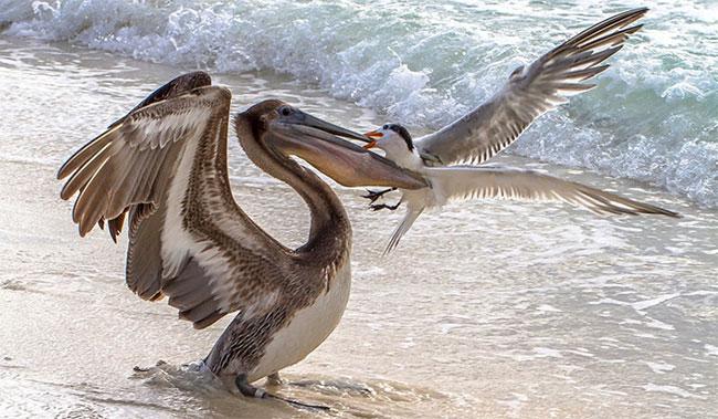 Nếu bạn nghĩ rằng, chim mòng biển chỉ thi thoảng mới xấu tính như vậy thôi, thì bạn đã quá ngây thơ rồi.