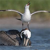 """Loài chim hay cà khịa, """"giang hồ"""" lưu manh nhất thế giới động vật"""