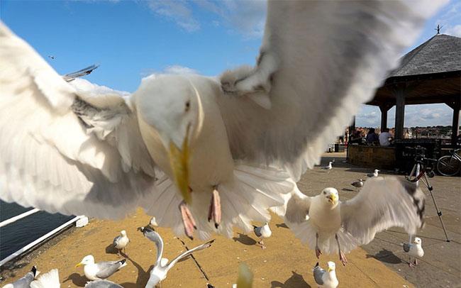 Mòng biển còn được biết đến là loài chim gan lớn, có lòng dạ sắt đá, không hề biết sợ.