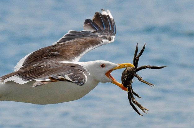 Trong ảnh là một con mòng biển đang săn giết cua dừa.