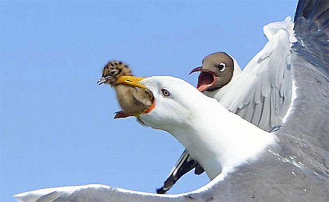 Không chịu bắt cá để ăn, khi thấy chim non trong tổ chim loài chim khác, mòng biển tiện đà săn giết luôn.