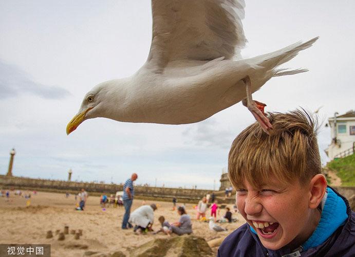 Những con chim mòng biển nổi tiếng hung dữ và táo tợn.