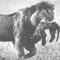 """Sư tử mẹ ăn thịt con mình: Tại sao """"Hổ dữ không ăn thịt con"""" mà sư tử lại làm như vậy?"""
