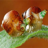 """Loài giun ký sinh biến ốc sên thành """"thây ma"""""""