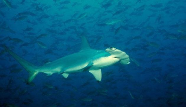 Hầu hết cá mập búa nhỏ được xem là vô hại đối với con người.