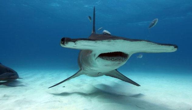Chiếc đầu to lớn giúp chúng có thể quét sâu xuống lòng đại dương và dò tìm thức ăn dễ dàng.