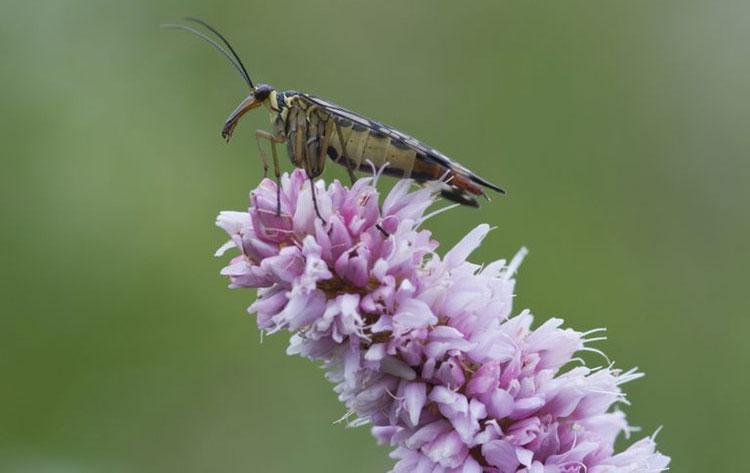 Ruồi bọ cạp có cơ thể dài màu đỏ, đôi cánh màu vàng và đen, đầu giống bọ ngựa.