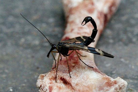 Ở loài ruồi bọ cạp, con đực có bộ phận sinh dục lớn, trông giống ngòi của một con bọ cạp.
