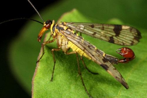 Thức ăn của ruồi bọ cạp gồm xác côn trùng chết, mật hoa và hoa quả thối rữa.