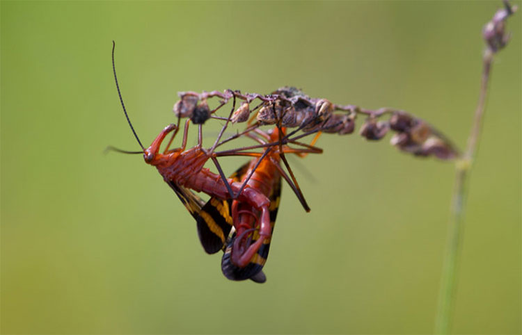 Ruồi bọ cạp có đời sống tình dục được đánh giá là bạo lực.