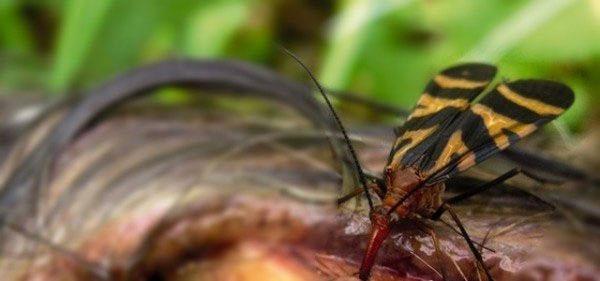Ruồi bọ cạp được biết là loài không gây hại đến con người.
