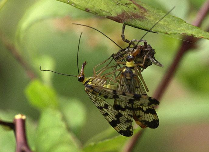 Ruồi bọ cạp có tên khoa học là Panorpa nuptialis.