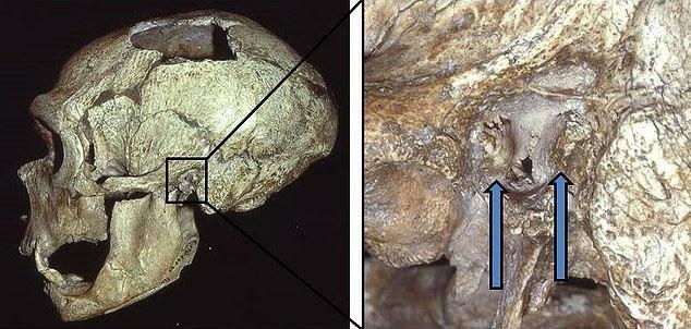 Một hộp họ thuộc hài cốt người Neanderthals, chứa đặc điểm lạ