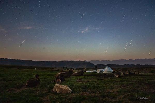 Những chú bò ngắm mưa sao băng tại thảo nguyên Nalati, Tân Cương, Trung Quốc.