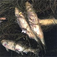 Sóng nhiệt đun nóng nước khiến cá hồi chết la liệt ở Alaska