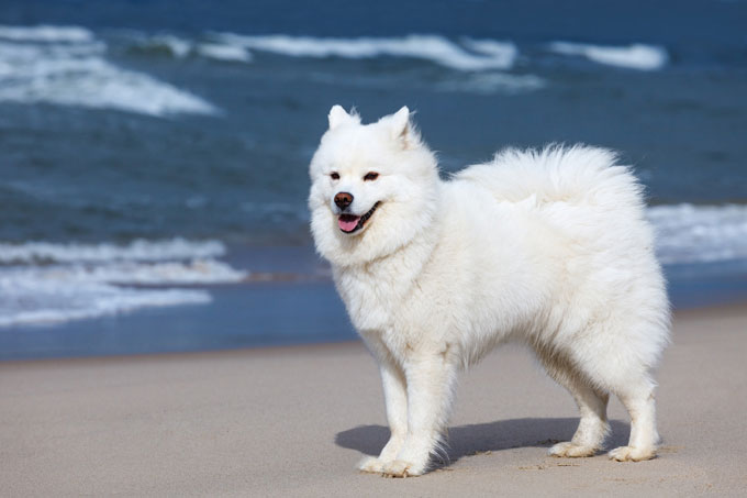 Chó Samoyed (Sam)