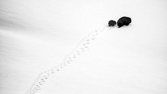 Hai mẹ con gấu túi mũi trần đi qua hang của con gấu túi hàng xóm ở New South Wales