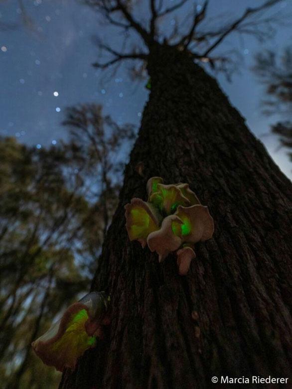 Nấm phát quang trong rừng thông trên bán đảo Bellarine, bang Victoria, Úc