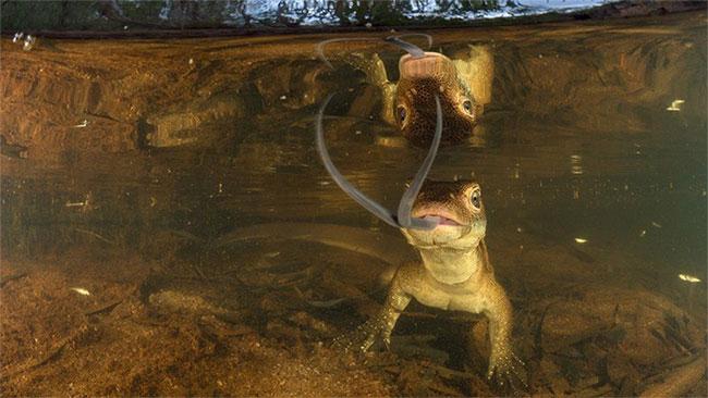Con thằn lằn ở sông Adelaide và hình ảnh phản chiếu của nó