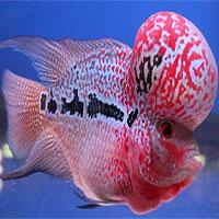 Những điều thú vị về cá la hán