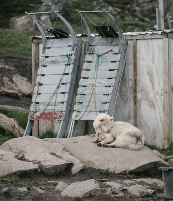 Một chú chó Huskey nằm gần hai chiếc xe trượt tuyết chó kéo.