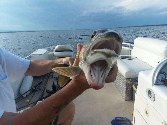 Hình ảnh con cá hai miệng kỳ dị ở hồ Champlain