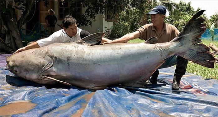 Cá da trơn khổng lồ sông Mekong