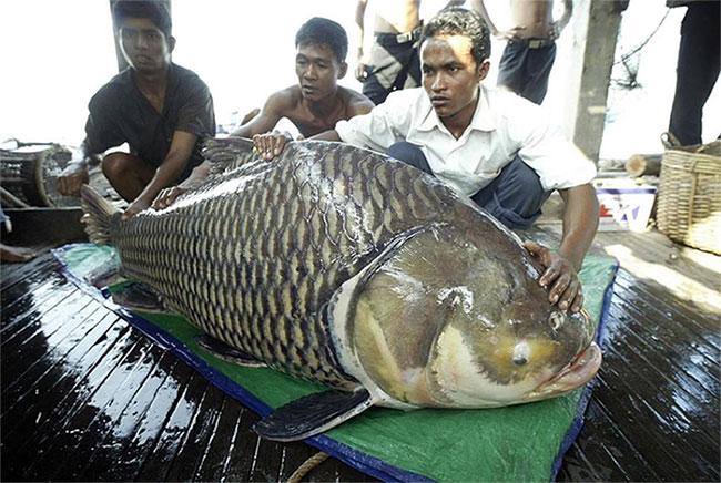 Cá chép Xiêm khổng lồ