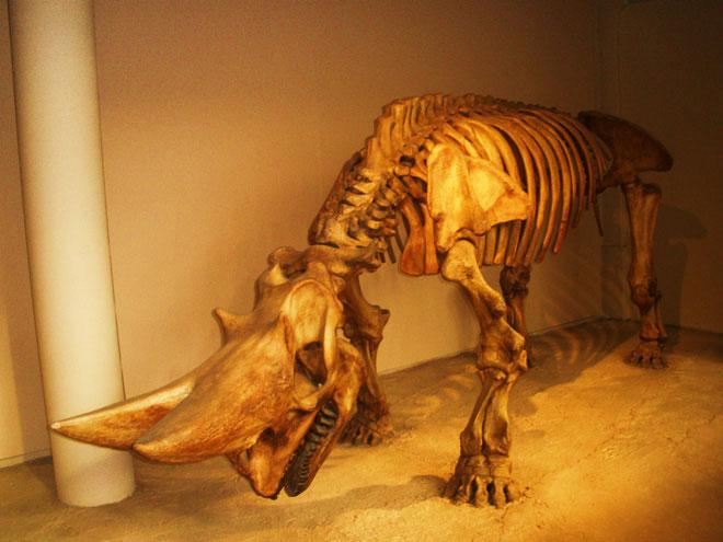 Một bộ xương của loài Arsinoitherium