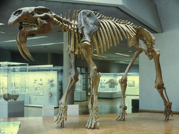 Deinotherium là một họ hàng thời tiền sử của voi hiện đại ngày nay