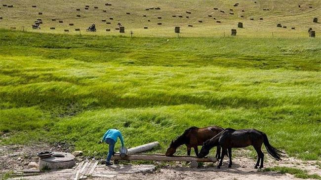 Những chú ngựa sau thời gian phục vụ du khách được nghỉ ngơi, uống nước.