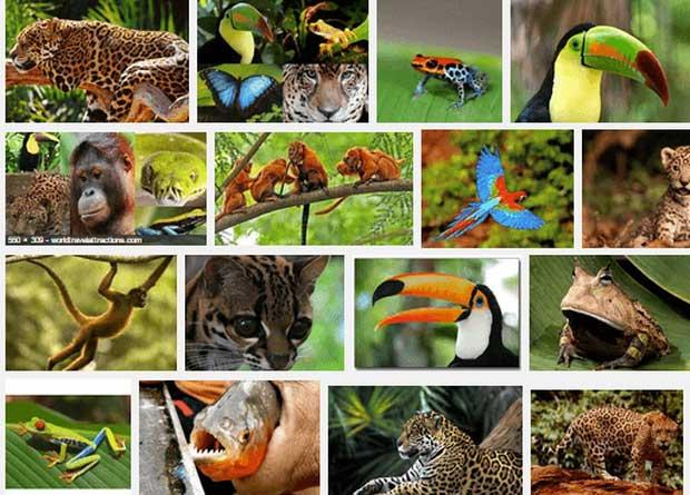...và đe dọa trực tiếp đến vô số loài động thực vật đặc hữu của Amazon