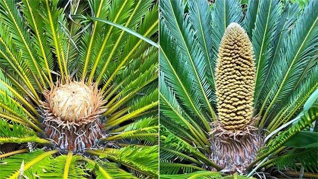 Nón đực và nón cái mọc trên các cây tuế ở vườn bách thảo Ventnor.