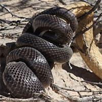 Rắn mole thoát chết nhờ siết đầu rắn hổ mang Nam Phi