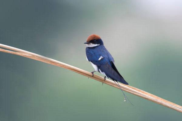 Chim én có lông chẻ đuôi, chân đậu trên cành hoặc dây điện.