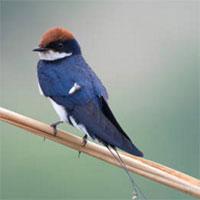 Chim én và các thông tin cơ bản về loài chim én