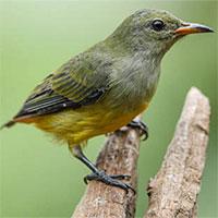 Chim sâu và những thông tin cơ bản về loài chim này