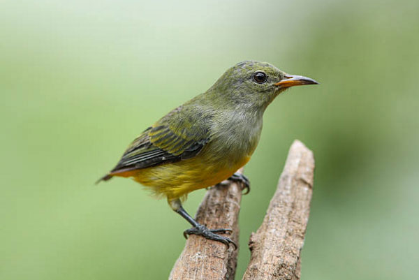 Chim sâu rất nhanh nhẹn và linh hoạt.