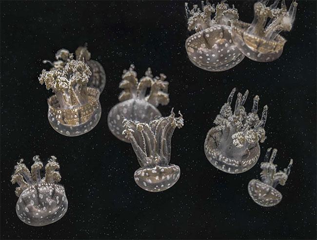 Những chú sứa lộn ngược