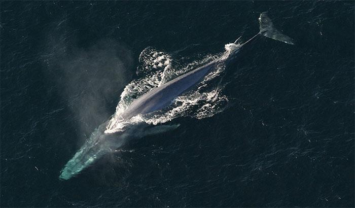 Cá voi xanh
