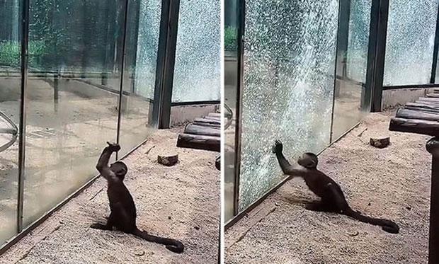 Con khỉ đã mài sắc hòn đá sau đó bắt đầu đập vào kính.