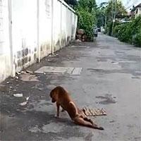 Con chó tinh ranh, giả què để xin thức ăn người đi đường