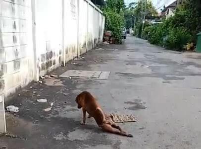 Chó giả què chân để xin ăn