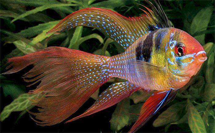Cá phượng hoàng