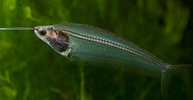 Cá thủy tinh