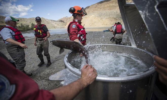 Một thùng nước được dùng để vận chuyển cá hồi lên sông Fraser.